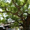 宇美八幡宮境内の大木