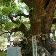宇美八幡宮の大木