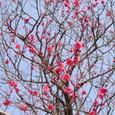 太宰府の梅
